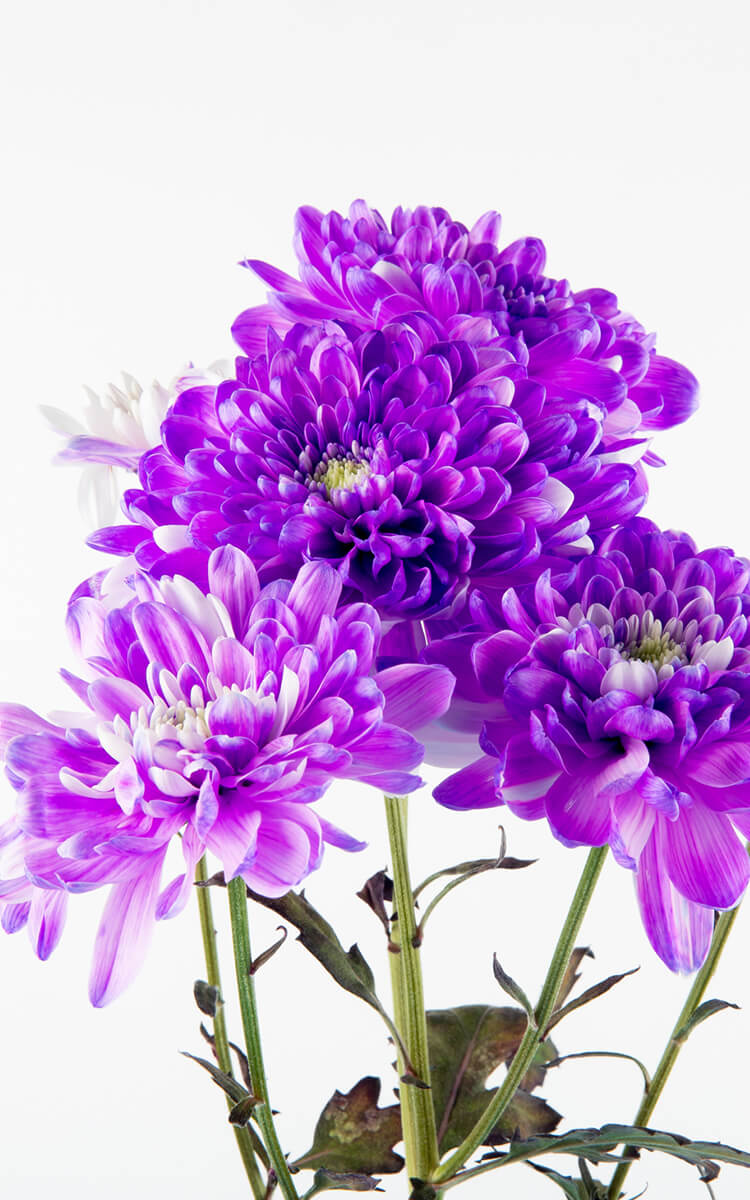 chrisanthemum flowers